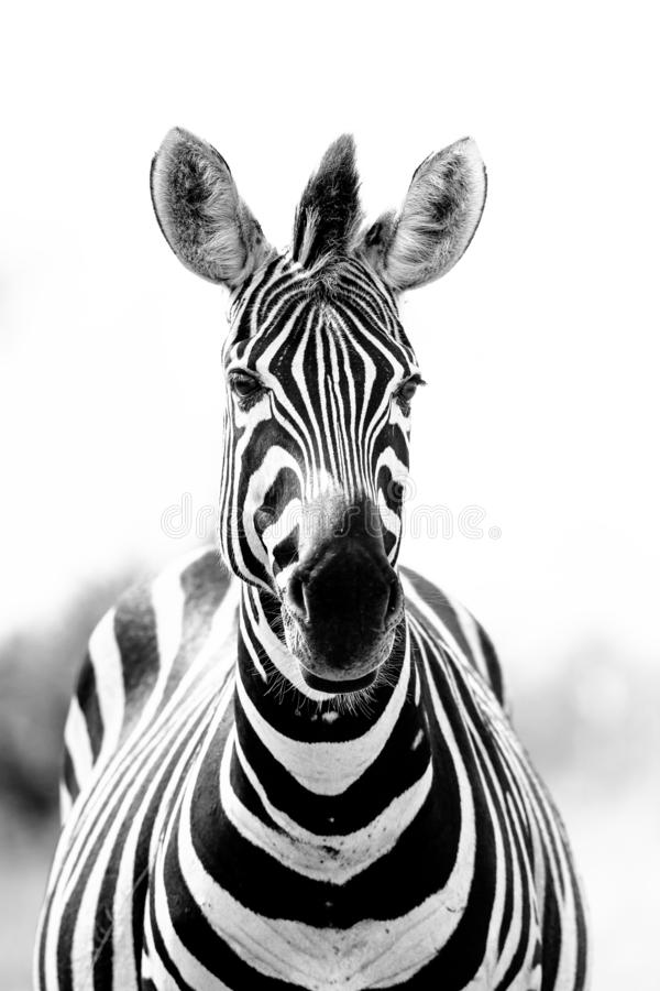 Retrato monocromático de una cebra, quagga del Equus, mirando fijamente imagen de archivo
