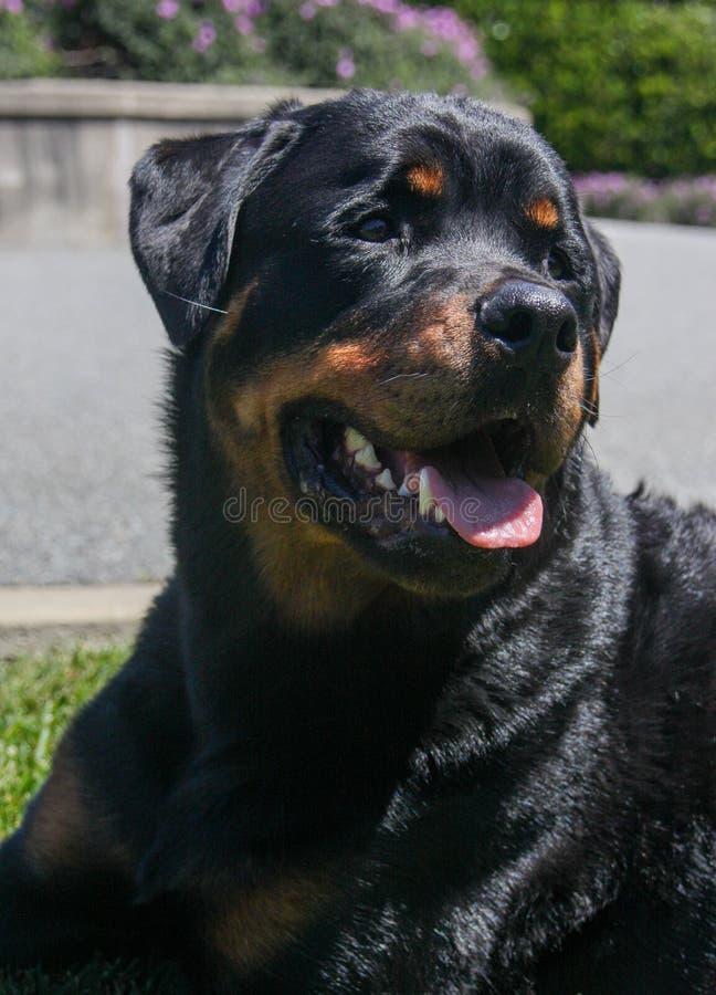 Retrato natural de um Rottweiler fotos de stock