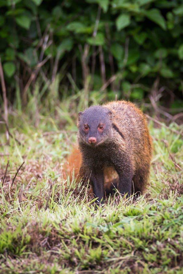 Retrato necked do mangusto da listra fotografia de stock royalty free