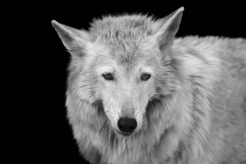 retrato Negro-blanco de la gente salvaje del bosque fotografía de archivo