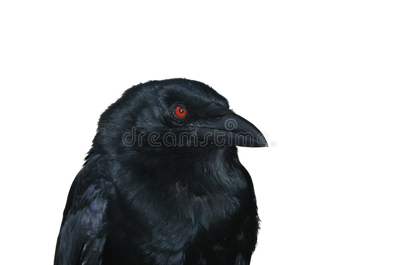 Retrato negro del cuervo fotos de archivo