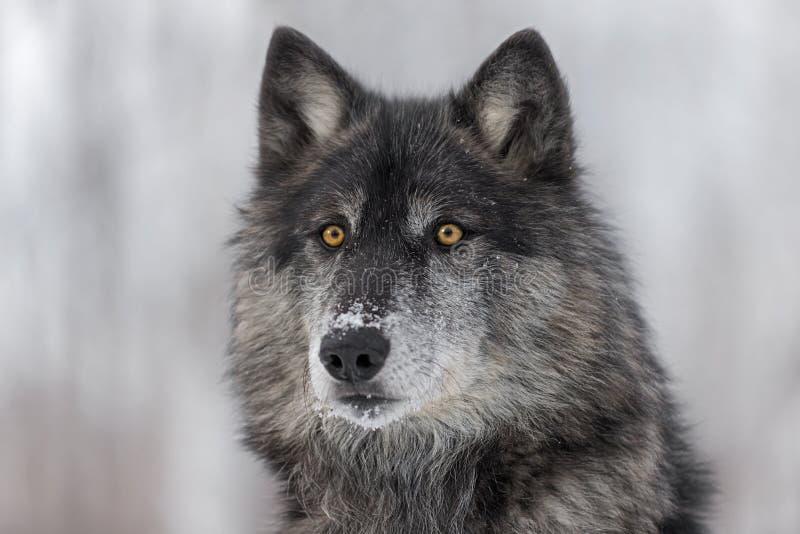 Retrato negro del lupus de Grey Wolf Canis de la fase imágenes de archivo libres de regalías