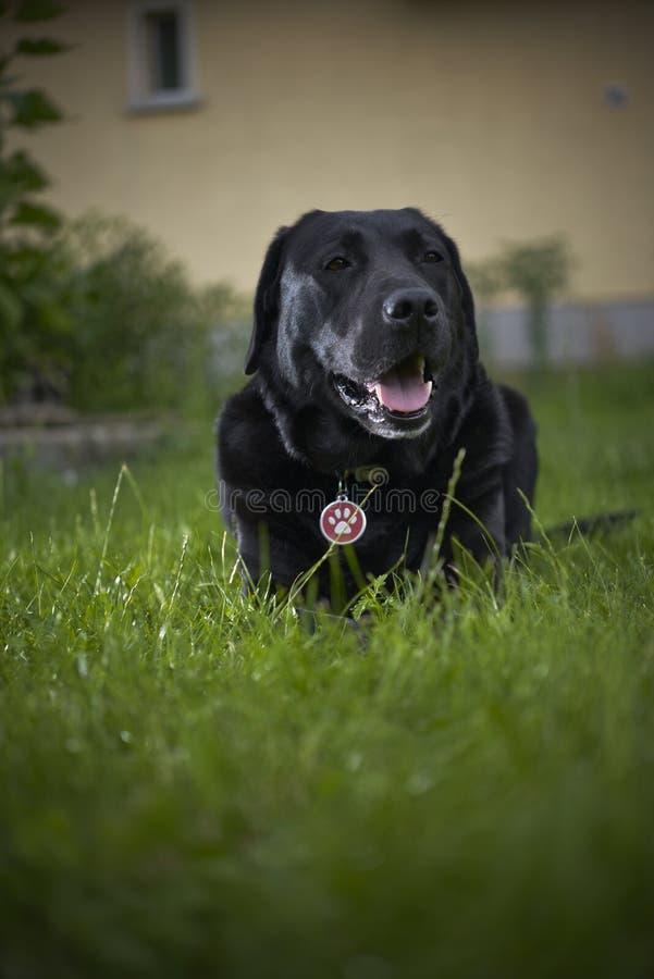 Retrato negro del perro del labrador retriever imagen de archivo libre de regalías