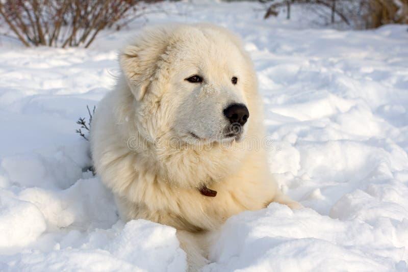 Retrato novo branco do Sheepdog fotos de stock royalty free