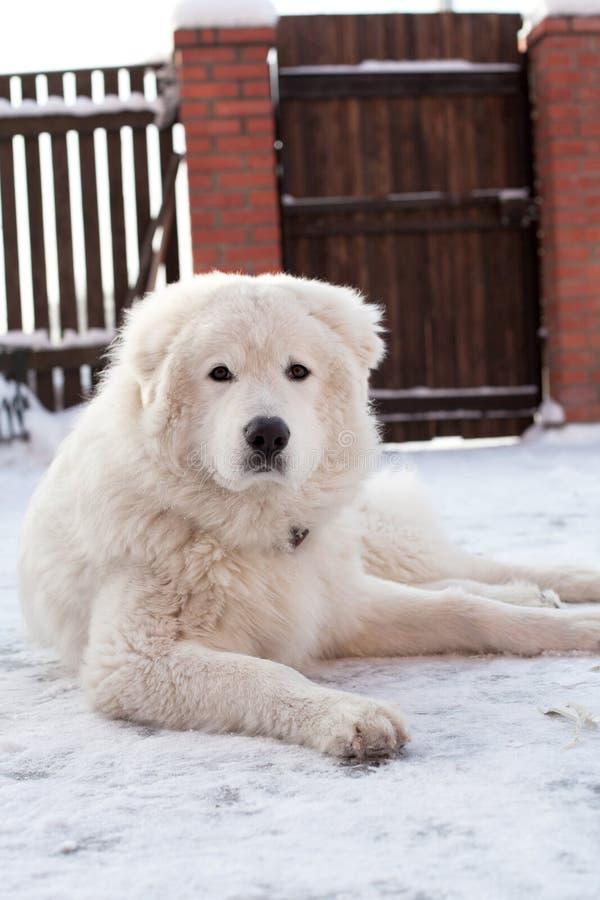 Retrato novo branco do Sheepdog fotos de stock