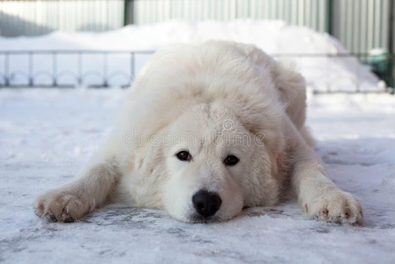 Retrato novo branco do Sheepdog foto de stock royalty free