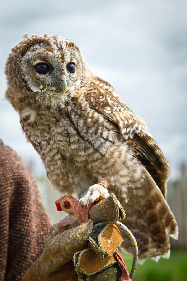 Retrato Novo Da águia-coruja Foto de Stock Royalty Free