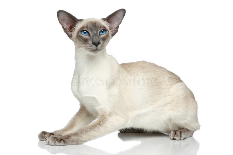 Retrato oriental do gato siamese do Blue-point foto de stock