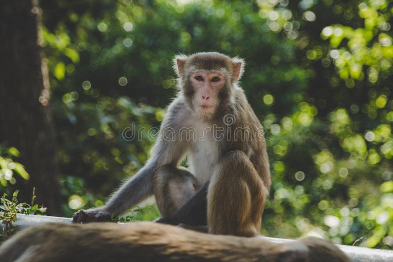 Retrato pequeno bonito de um macaco de macaque que senta e que olha o fotógrafo Cenário verde do parque ou da selva em Hong Kong fotografia de stock royalty free