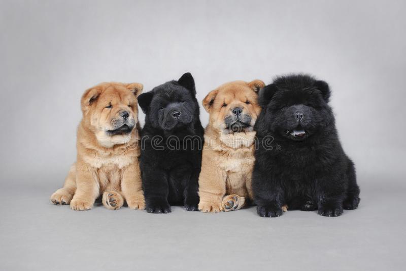 Retrato pequeno de quatro filhotes de cachorro da comida da comida fotografia de stock