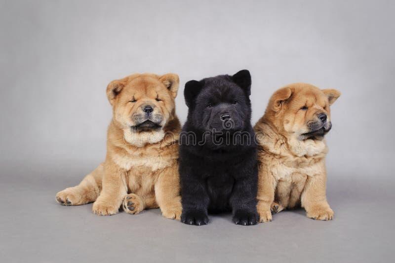 Retrato pequeno de três filhotes de cachorro da comida da comida foto de stock