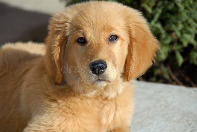 Retrato pequeno do cão imagens de stock royalty free