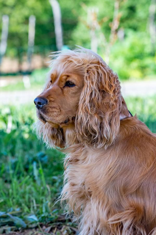 Retrato, perro marrón de cocker spaniel que mira a la izquierda foto de archivo libre de regalías