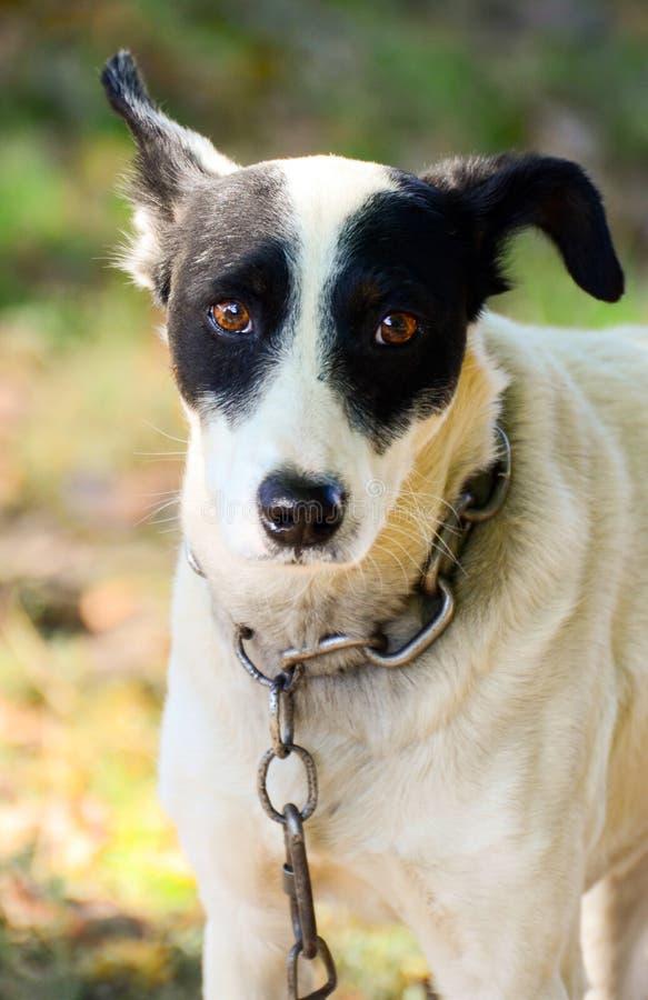 Retrato pobre del perro con la cadena imagenes de archivo