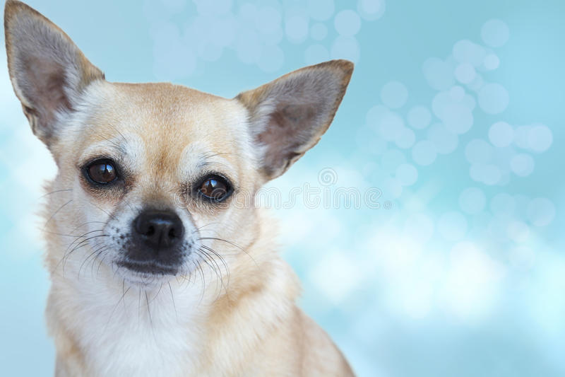 Retrato poner crema de la chihuahua foto de archivo