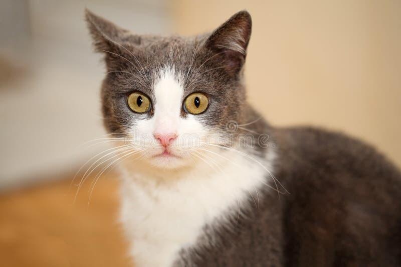 Retrato próximo de um cinza bonito e engraçado com gato branco, olhando surpreendido no fotos de stock royalty free