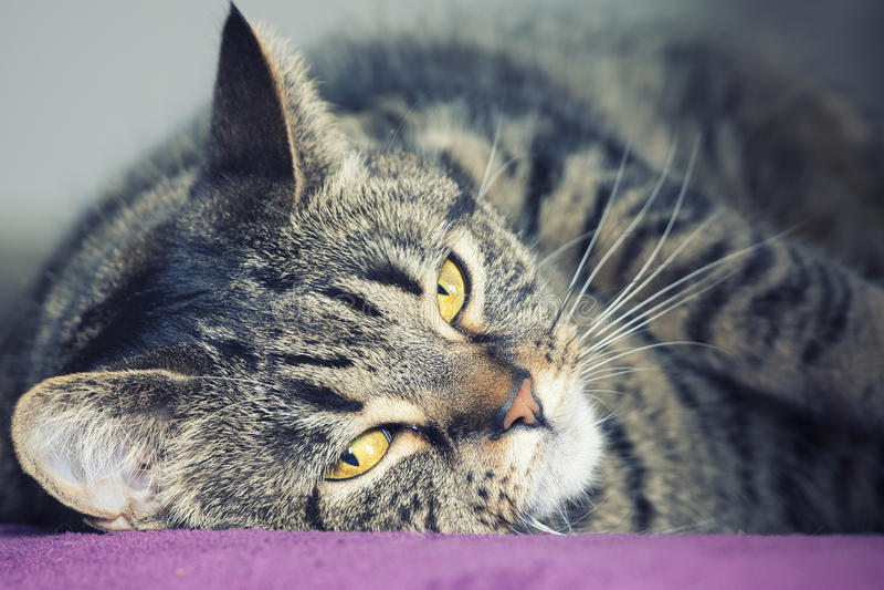 Retrato próximo de um encontro fêmea do gato de gato malhado fotografia de stock royalty free