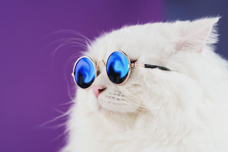 Retrato próximo do gato peludo branco em óculos de sol da forma Foto do estúdio A vaquinha doméstica luxuoso nos vidros levanta s imagens de stock
