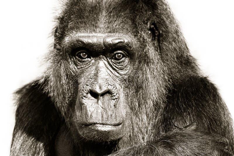 Retrato próximo preto e branco do gorila Gorila que olha fixamente olhando o fundo branco isolado do detalhe da cabeça de câmera  imagem de stock