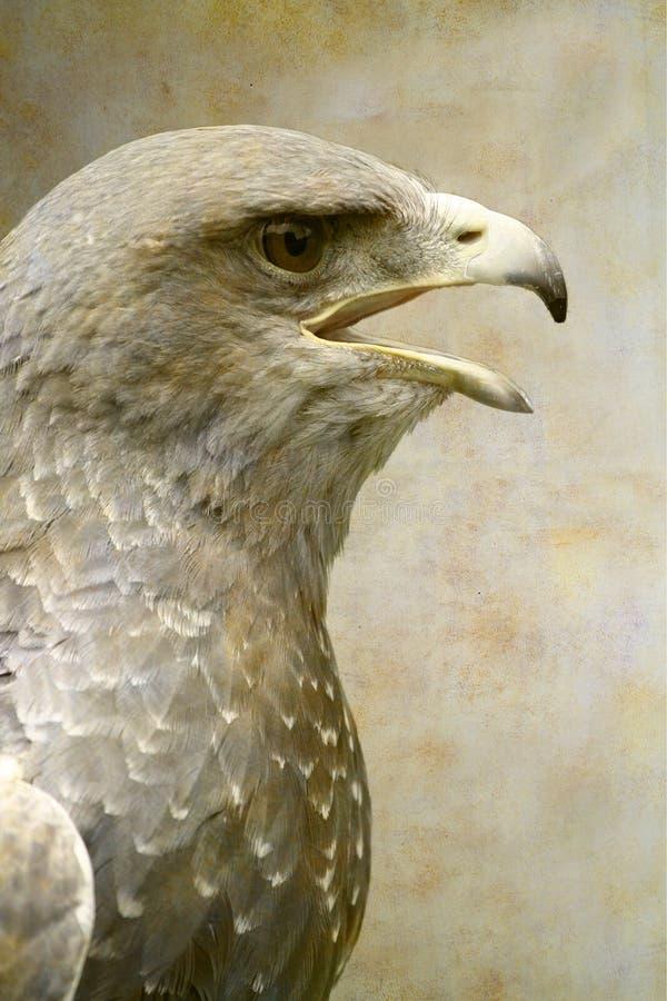 retrato Preto-chested de busardo-Eagle foto de stock royalty free