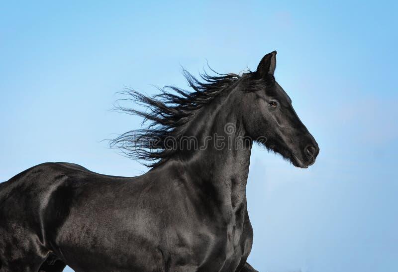 Retrato preto do cavalo do frisão no movimento fotografia de stock royalty free