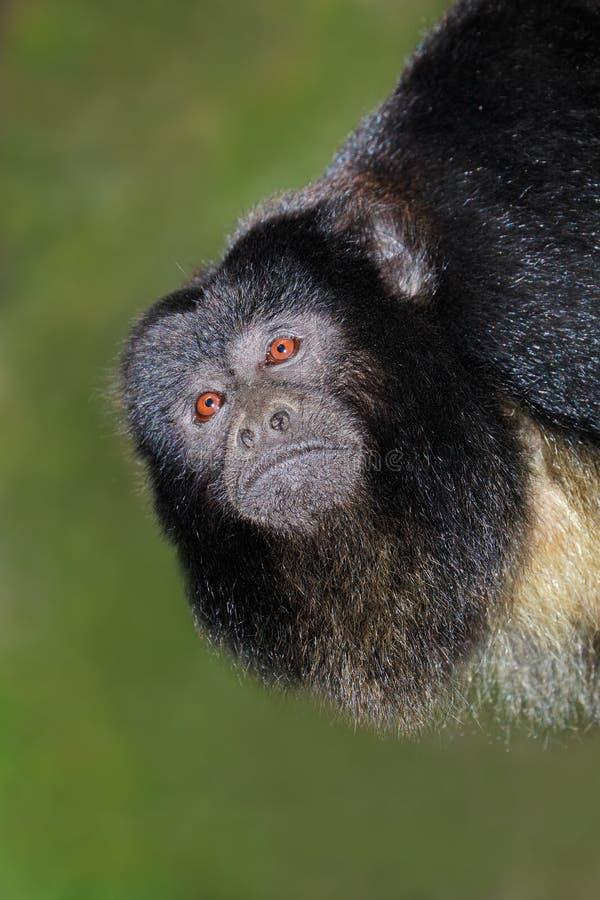 Retrato preto do macaco de howler imagens de stock