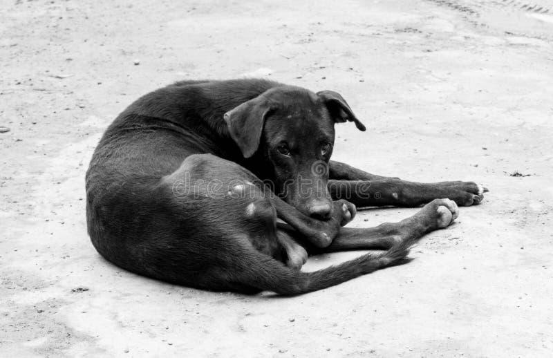 Retrato preto e branco de um cão magro e subnutrido da rua imagem de stock royalty free