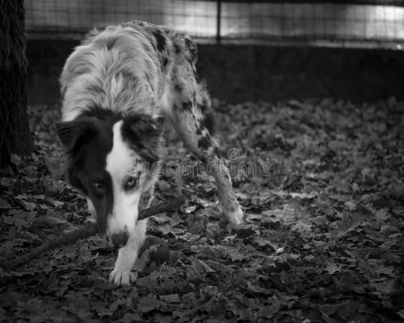 Retrato preto e branco do cão-pastor de Australain fotografia de stock royalty free