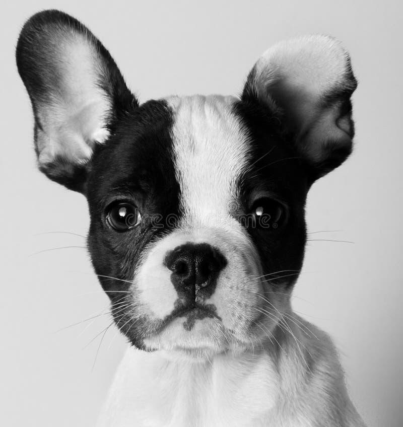 Retrato preto e branco do close-up do buldogue do frenchie que olha a câmera fotografia de stock