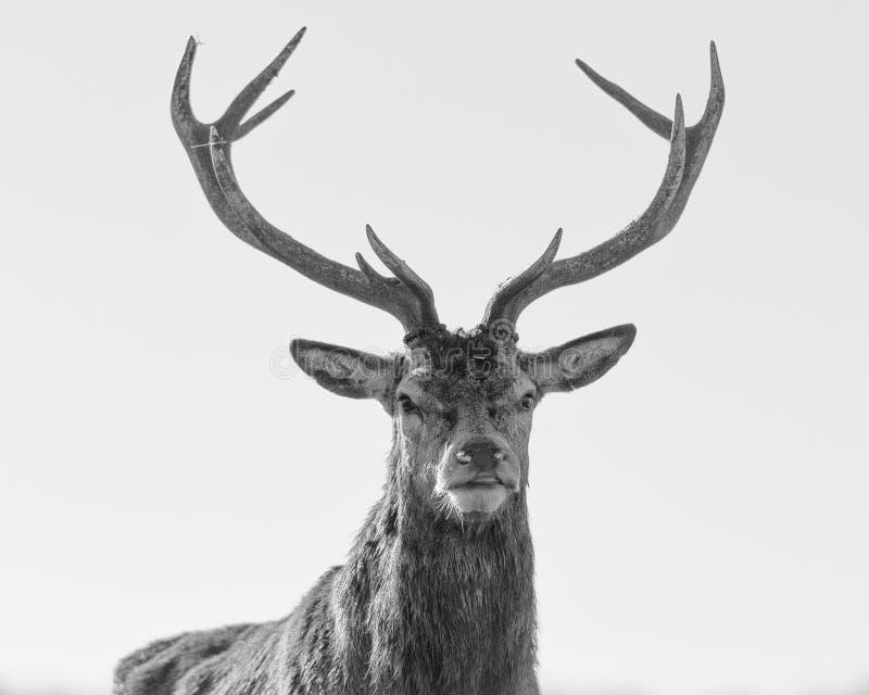 Retrato preto e branco do veado dos veados vermelhos foto de stock