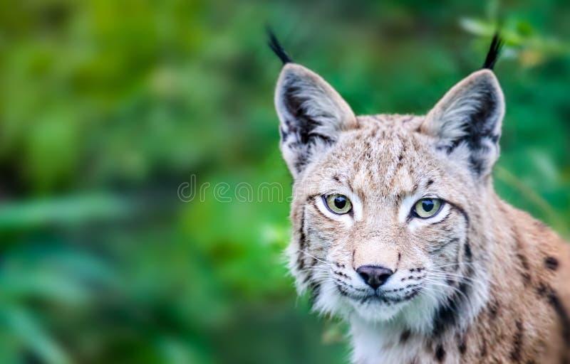 Retrato principal de olhar fixamente curioso do gato euro-asiático selvagem do lince em linha reta na câmera imagens de stock