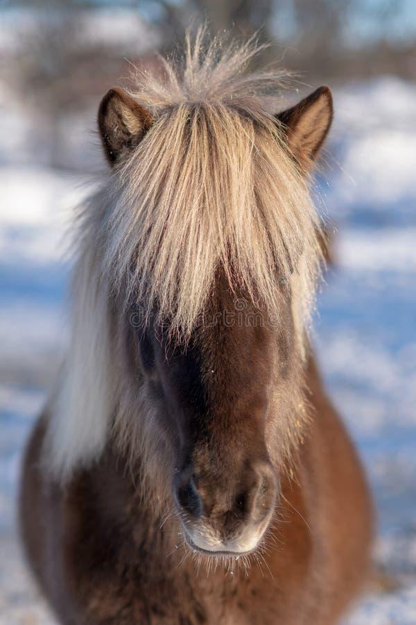 Retrato principal de um cavalo islandês marrom escuro com juba branca imagens de stock royalty free