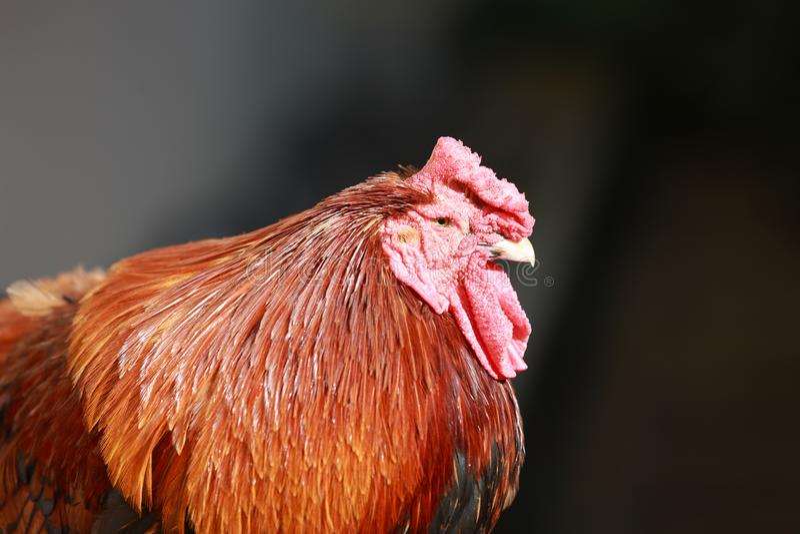Retrato principal de uma galinha fotos de stock