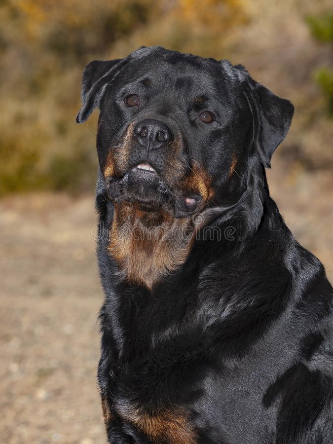 Retrato principal de un campeón Rottweiler femenino fotografía de archivo