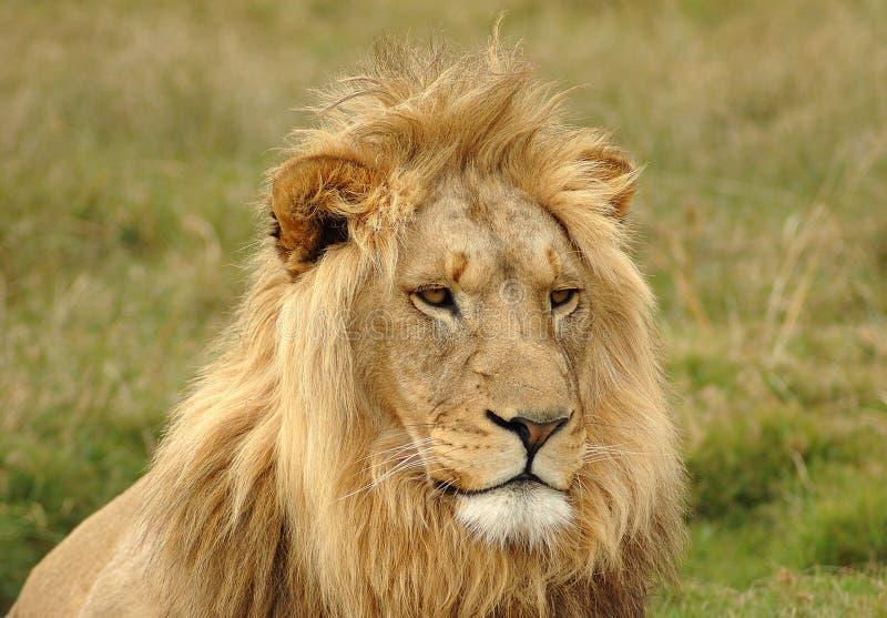 Retrato principal do leão fotos de stock