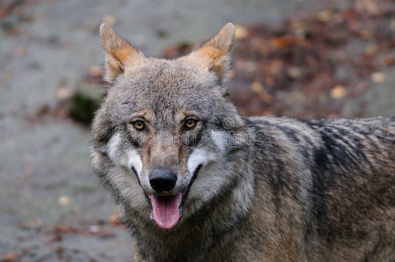 Retrato principal do lobo fotos de stock
