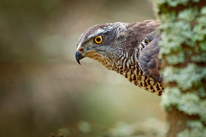 Retrato principal ocultado del azor Detalle del pájaro del azor de la presa Halcón del pájaro que se sienta en la rama en el bosq fotos de archivo libres de regalías