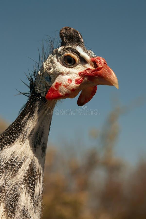 Retrato protegido com capacete do Meleagris do Numida do galinha-do-mato imagem de stock royalty free