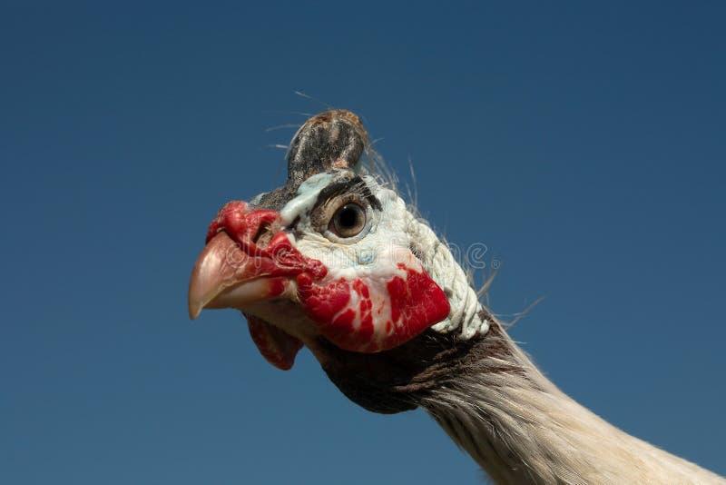 Retrato protegido com capacete do Meleagris do Numida do galinha-do-mato foto de stock