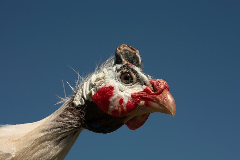 Retrato protegido com capacete do Meleagris do Numida do galinha-do-mato fotos de stock