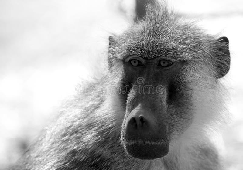 Retrato quadro completo de um babuíno do encanto no branco preto que olha diretamente adiante imagens de stock