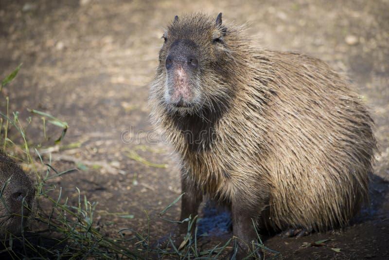 Retrato que se sienta del Capybara fotos de archivo