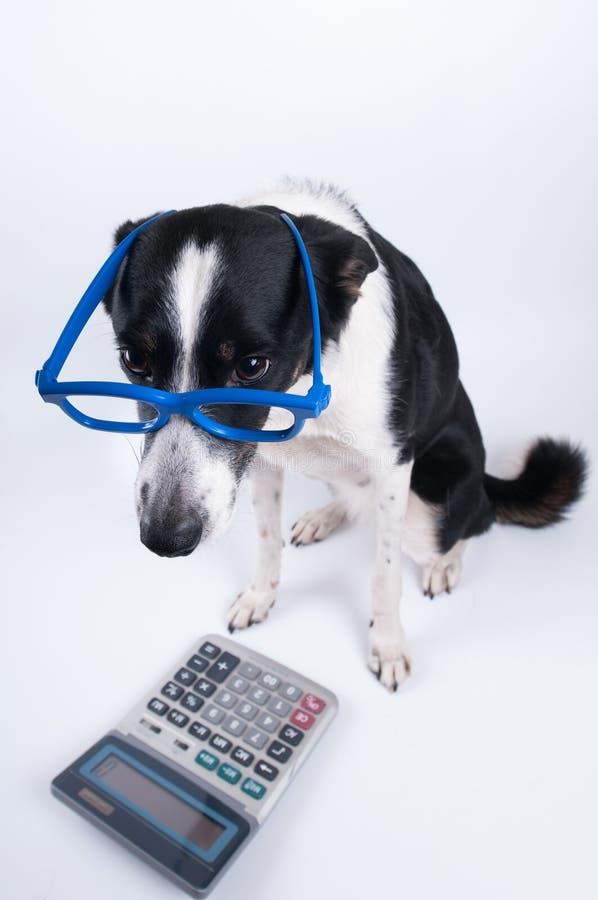 Retrato que se sienta del perro con la calculadora foto de archivo