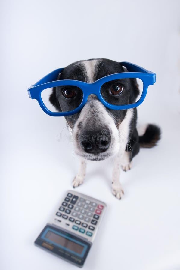 Retrato que se sienta del perro con la calculadora imágenes de archivo libres de regalías