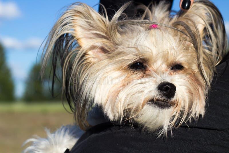 Retrato realizar com crista chinês do cão nos braços fora na SU foto de stock royalty free