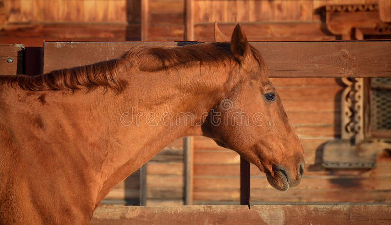 Retrato rojo del caballo fotos de archivo