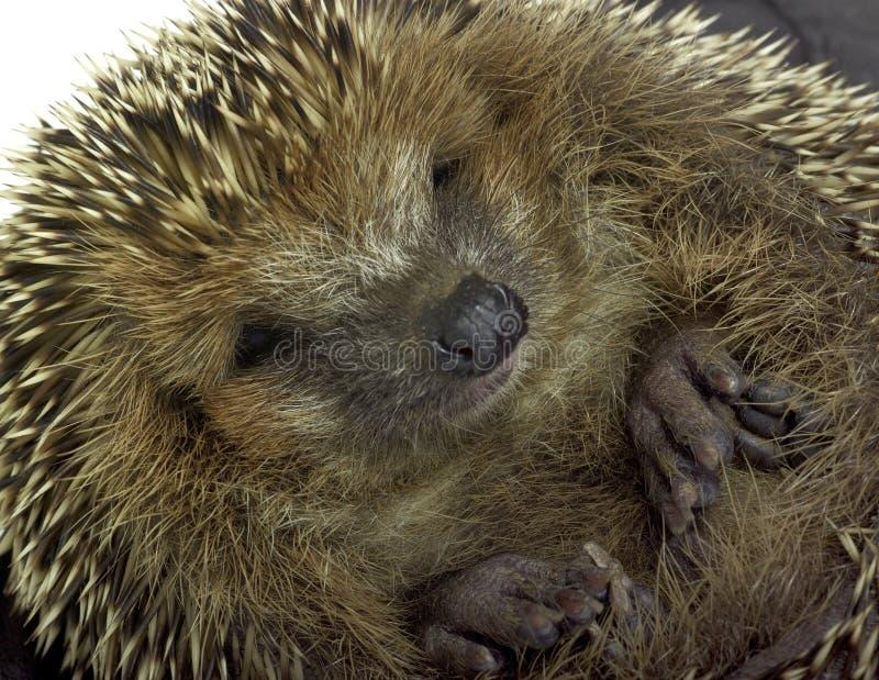 Retrato Rolled-up do hedgehog imagem de stock