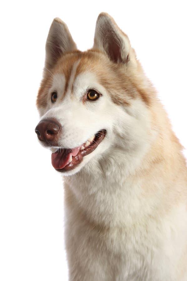 Retrato ronco do cão imagem de stock royalty free