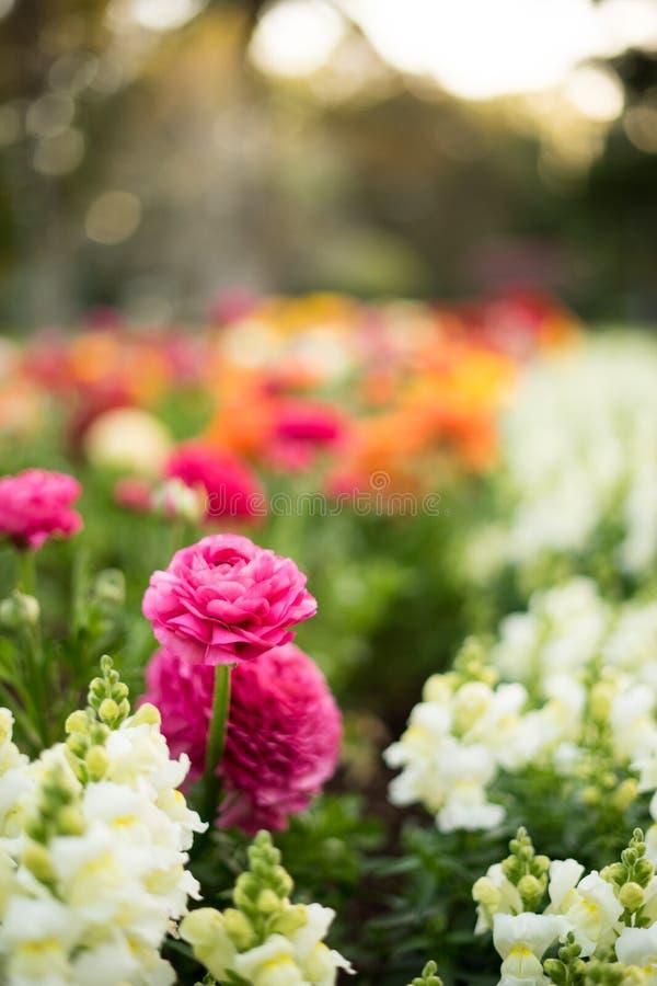 Retrato rosado colorido Bokeh de las flores imagen de archivo libre de regalías