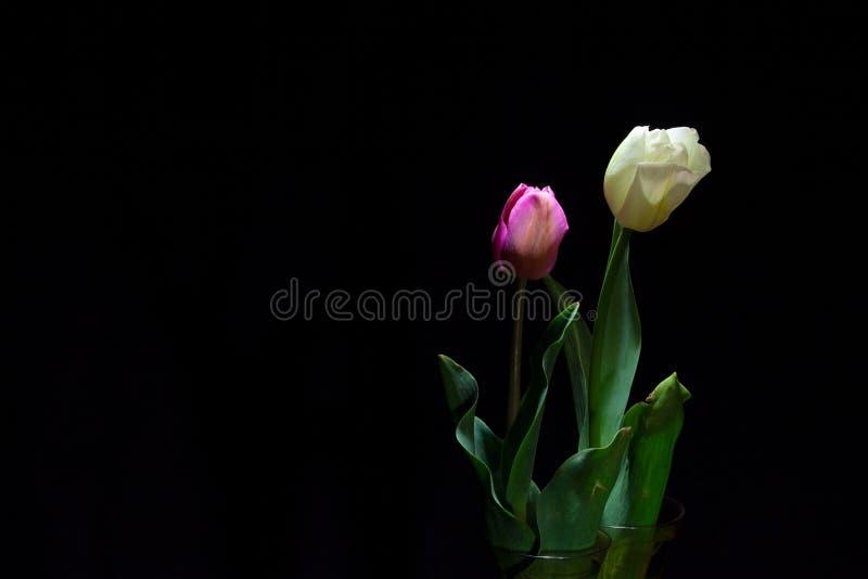 Retrato rosado y blanco del tulipán bajo luz oscuro en backgro negro imagen de archivo libre de regalías